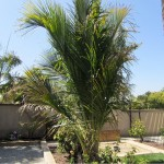 Beccariophoenix madagascariensis: Death of a giant