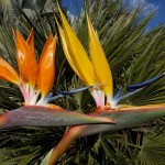 Yellow Bird of Paradise 'Mandela's Gold'