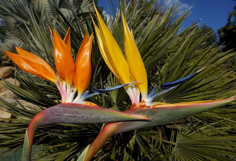 Image result for mandela's gold bird of paradise