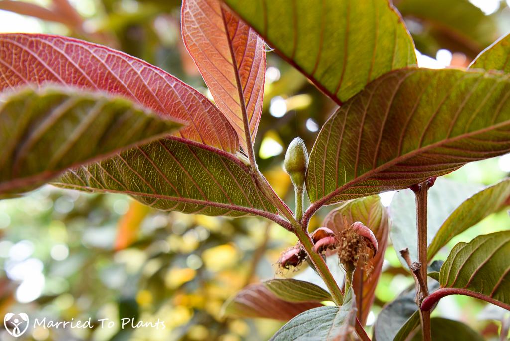 Red Malaysian Guava (Psidium guajava) Leaves