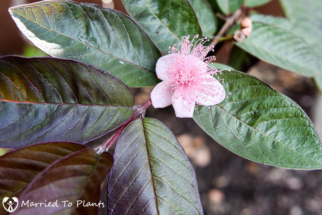 Red Malaysian Guava (Psidium guajava)  Flower