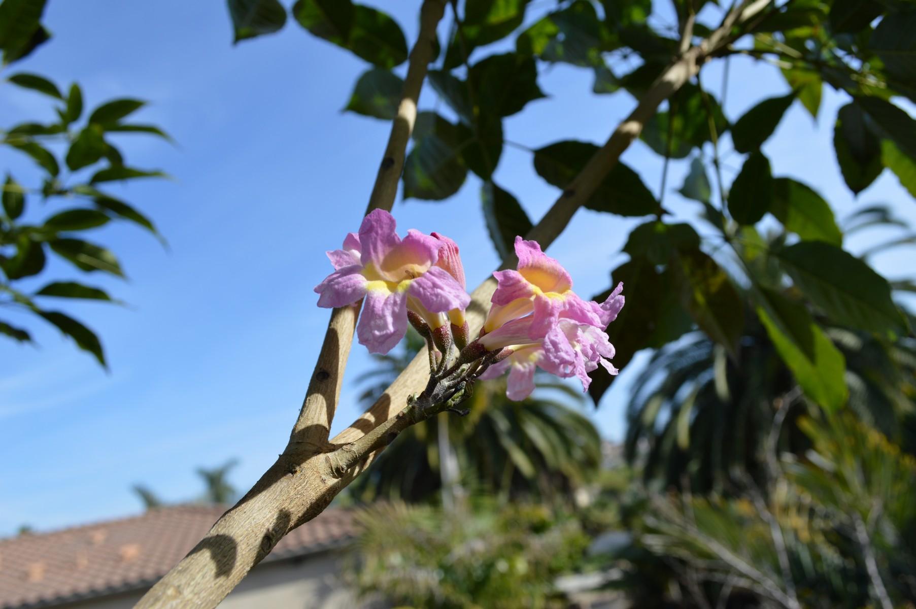 Tabebuia Species