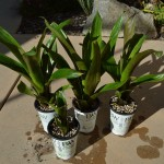 The step-by-step process for proper Vriesea propagation