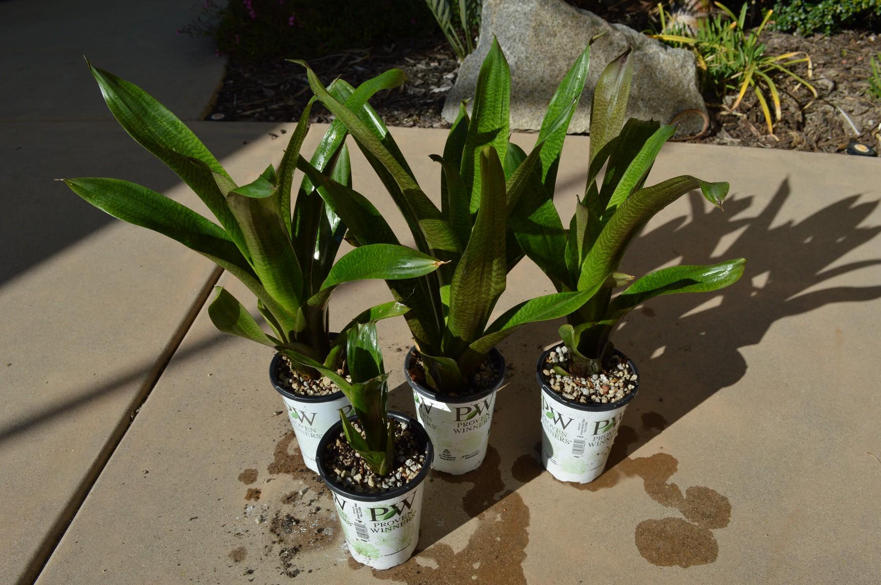 Vriesea Hybrid Offsets