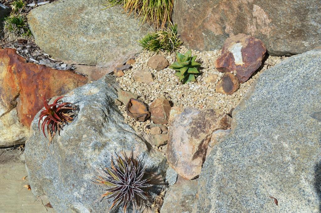 Aloe 'Hellskloof Bells' in Landscape