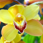 Spring must be around the corner. My Cymbidium orchids are blooming.