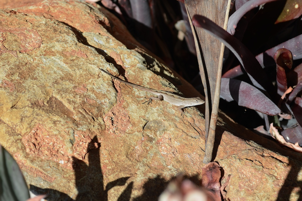 Brown Anole Female