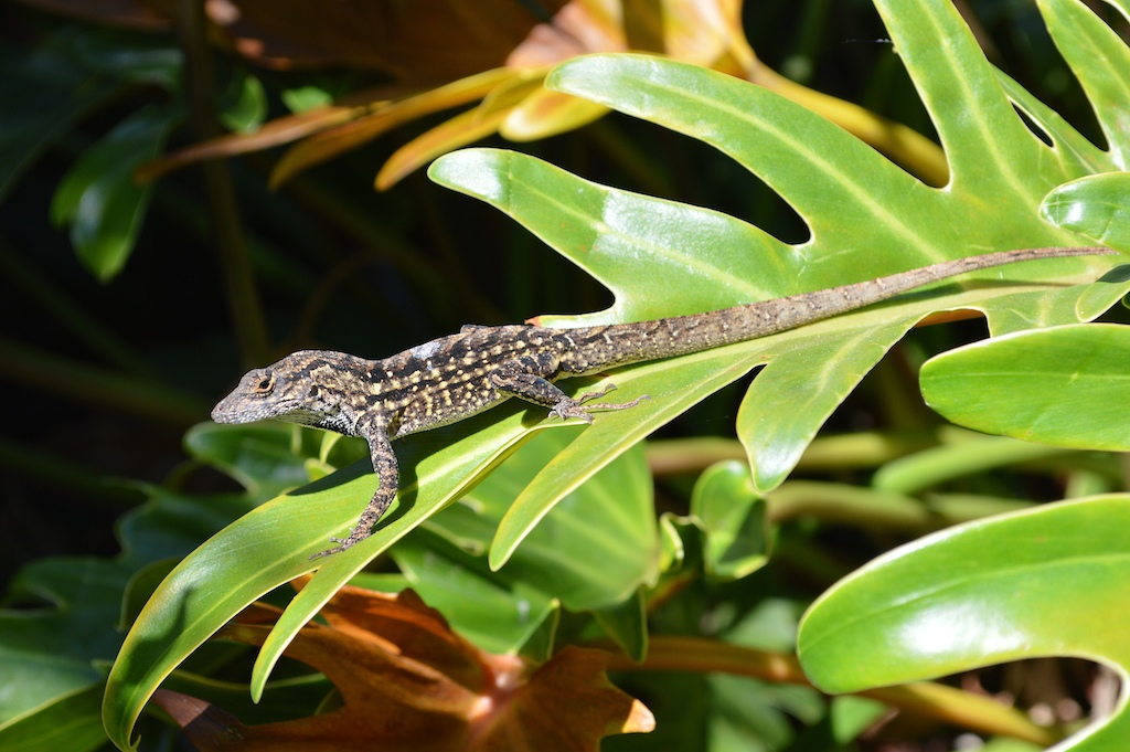Brown Anole Male