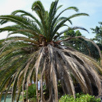 Expensive tree removal thanks to Canary Palm Fusarium Wilt