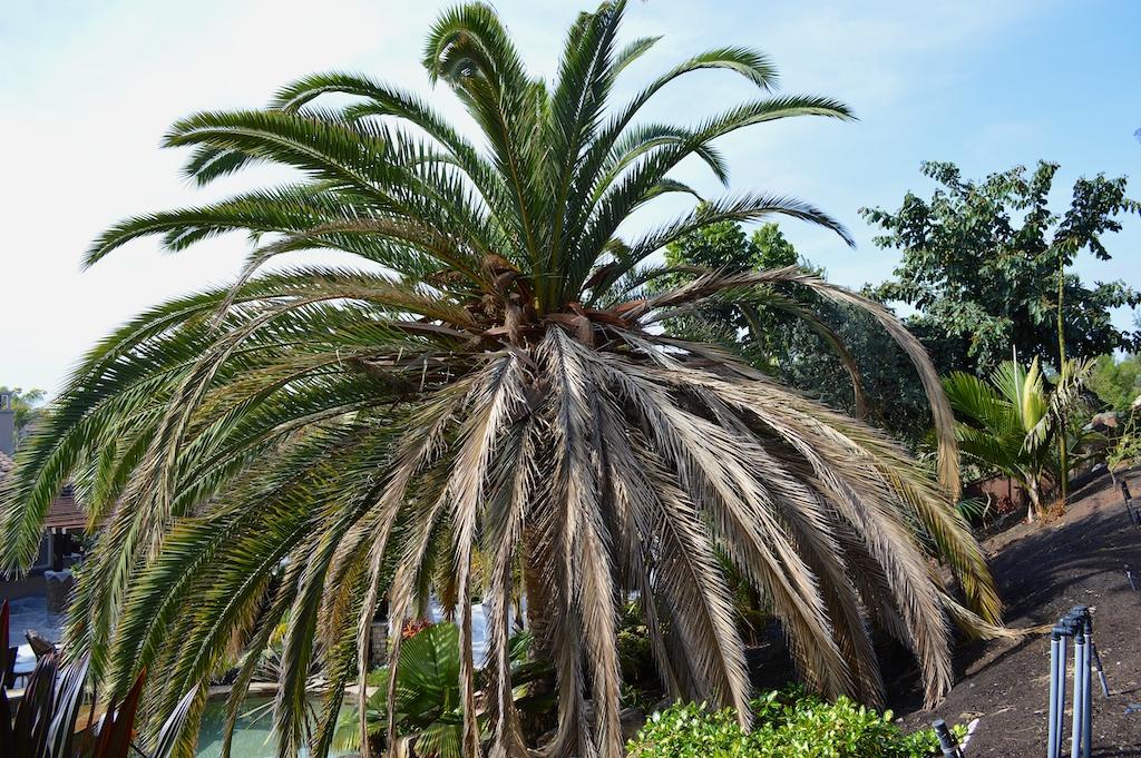 Canary Palm Fusarium Wilt
