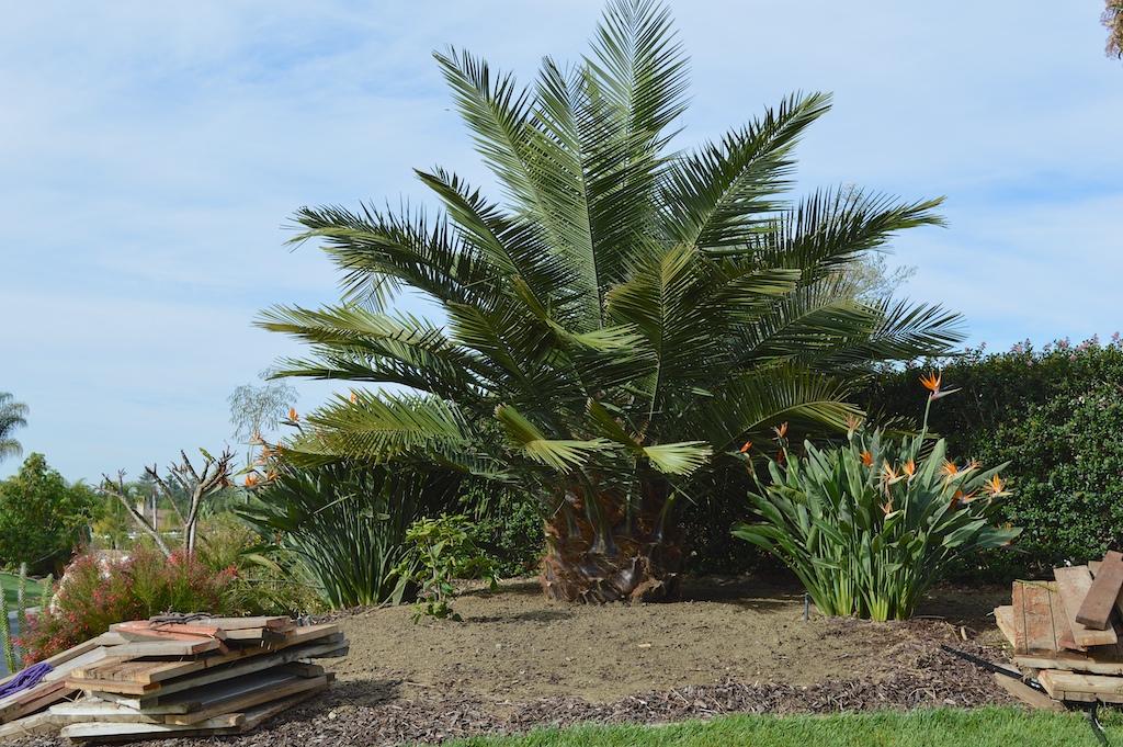 Transplanting A Jubaea Chilensis (Chilean Wine Palm)