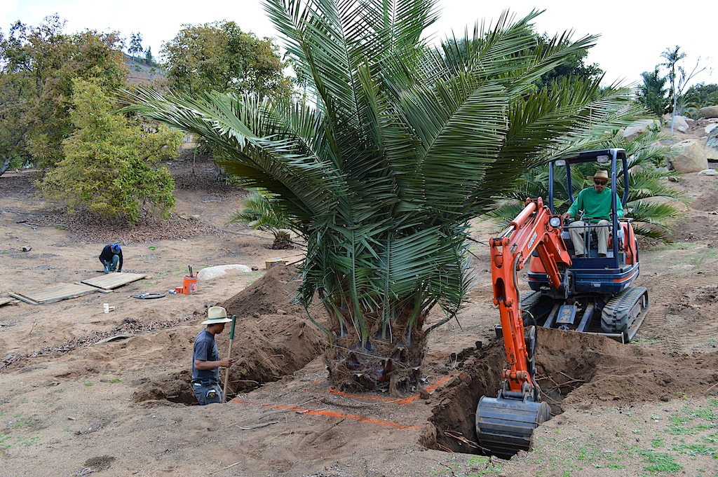 Jubaea chilensis Trenching for Transplant