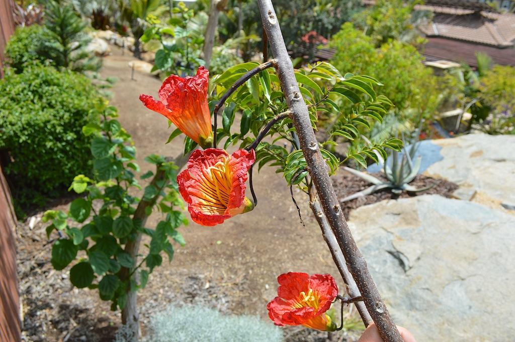 Fernandoa magnifica Blooms