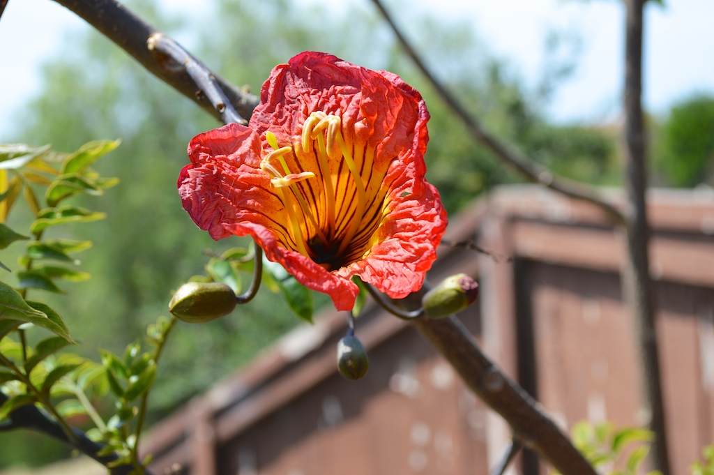 Fernandoa magnifica Flower