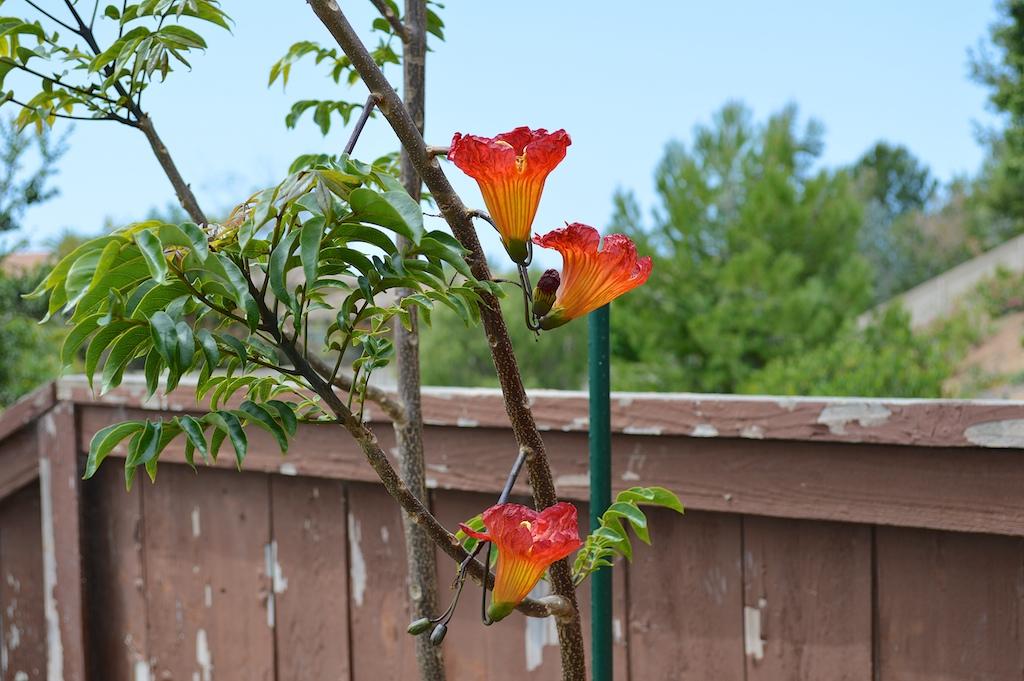 Fernandoa magnifica Flowers