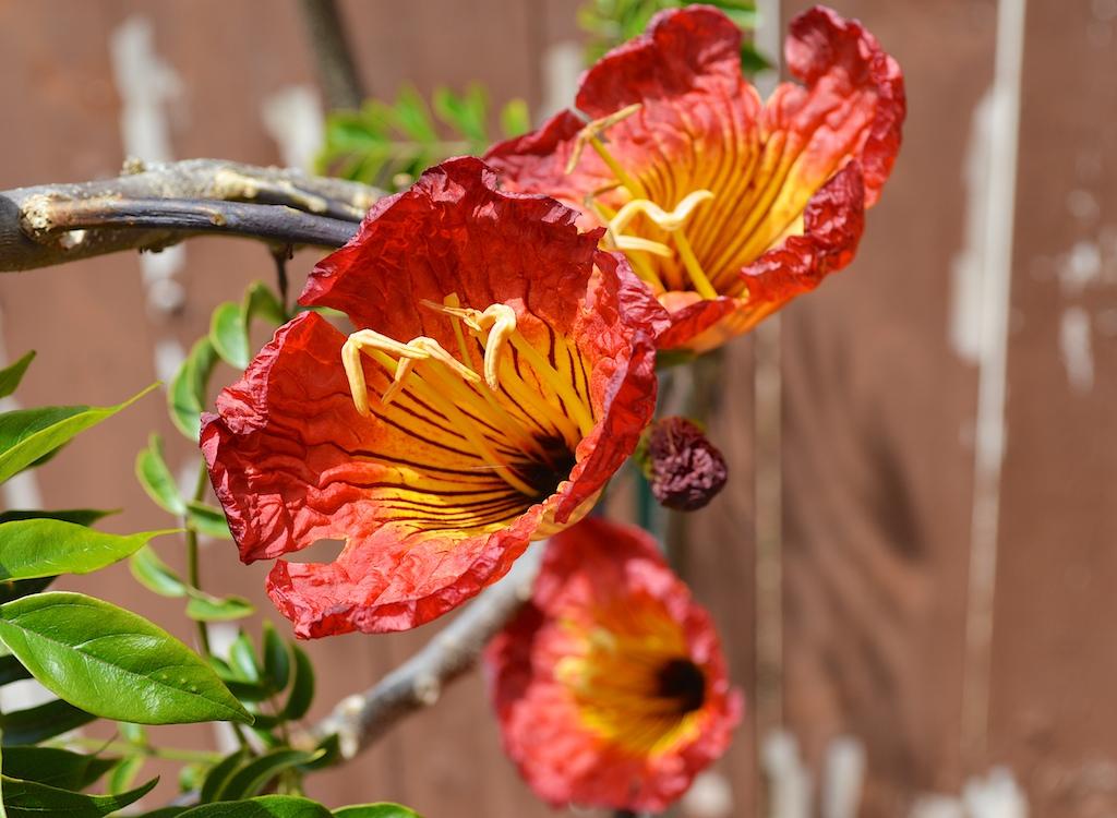 Fernandoa magnifica Triple Flowers