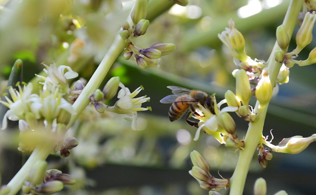 Honey Bee on Dragon Tree Flower