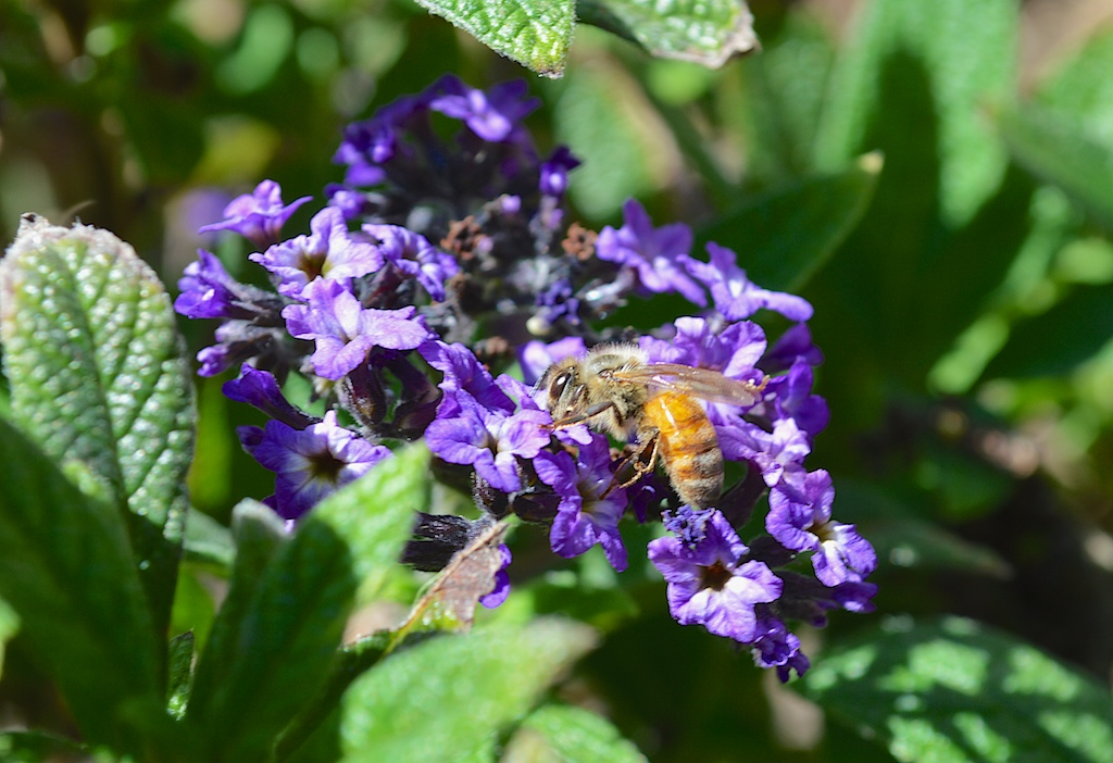 Honey Bee on Heliotrope