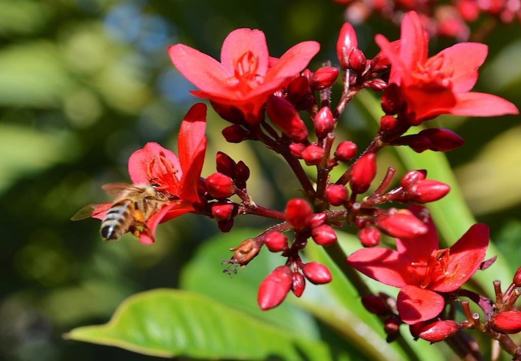 Honey Bee on Jatropha