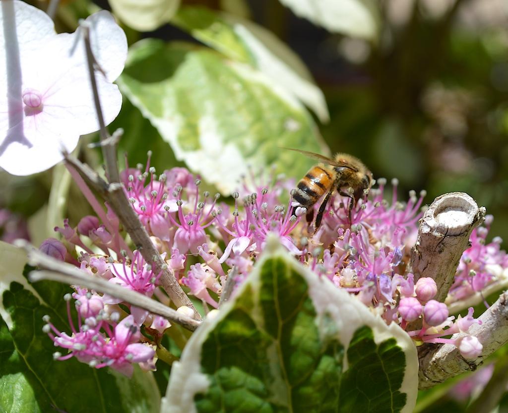 Honey Bee with Mite on Hydrangea