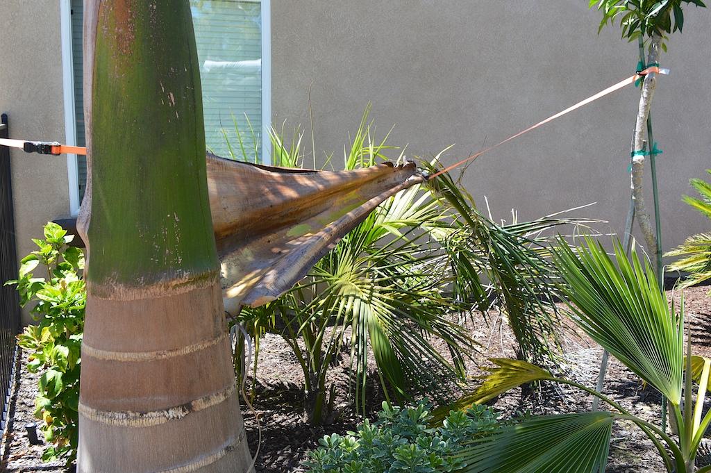 Santa Ana Wind Palm Damage