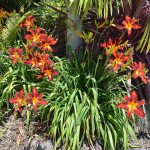 The impeccable timing of my evergreen daylilies