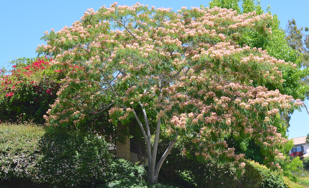 Albizia julibrissin (Silk Tree)