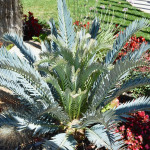Warm weather means flushing cycads