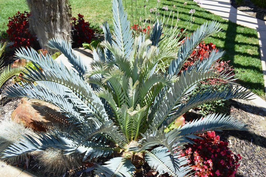 Encephalartos lehmannii x trispinosus