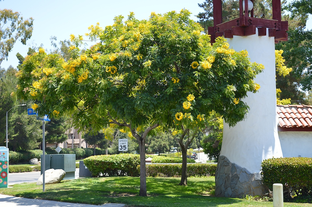Cassia leptophylla (Gold Medallion Tree)