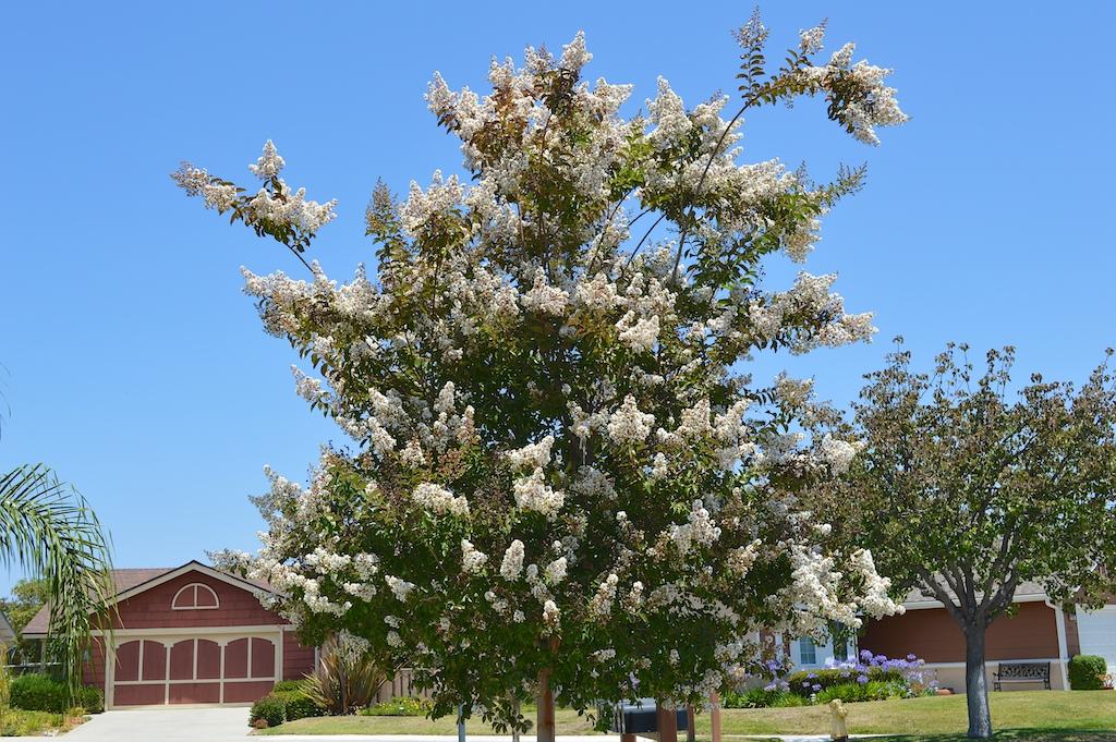 Lagerstroemia indica (White Crape Myrtle)