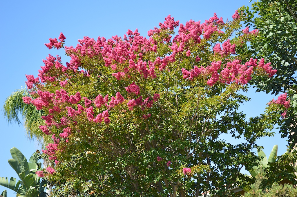 Lagerstroemia indica (Pink Crape Myrtle)
