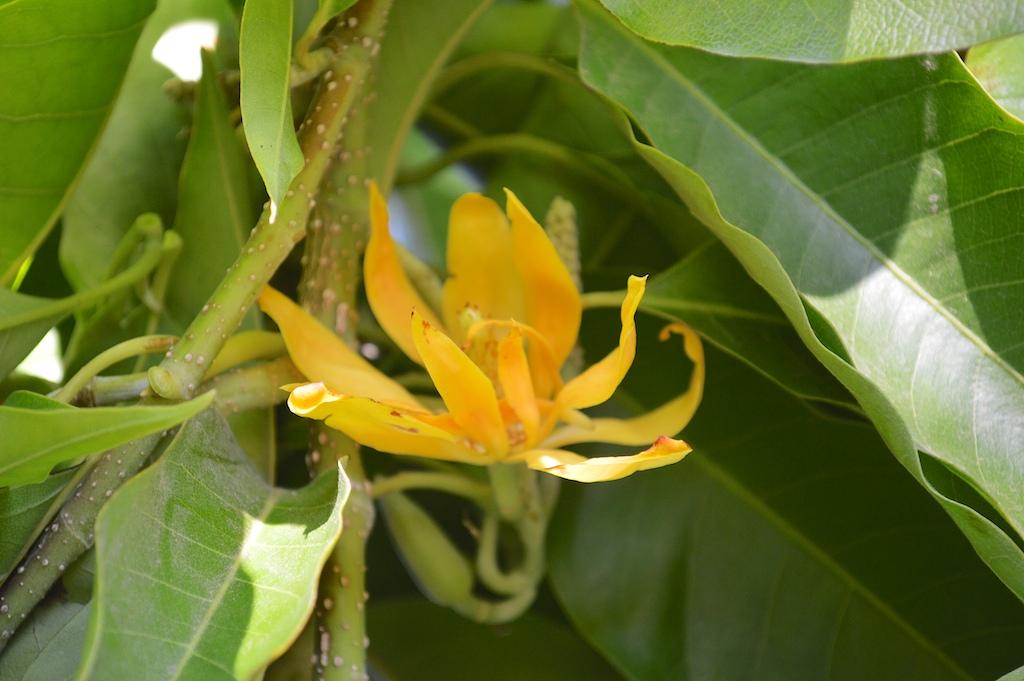 Michellia champaca Flower