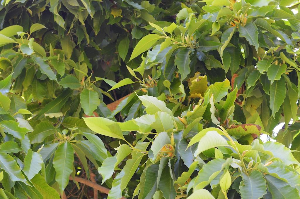 Michellia champaca
