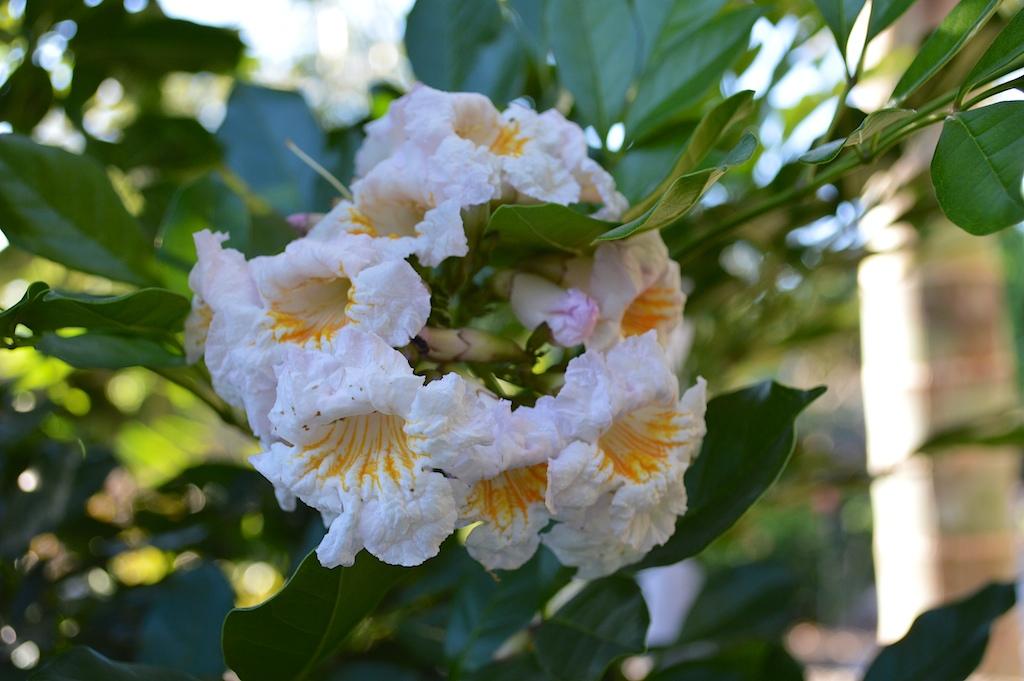 "Radermachera ""Kunming"" (Dwarf Tree Jasmine)"