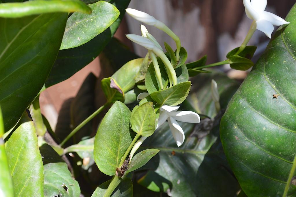 Atractocarpus bracteatus Flower Stalk