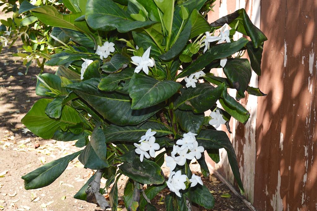 Atractocarpus bracteatus Flowering