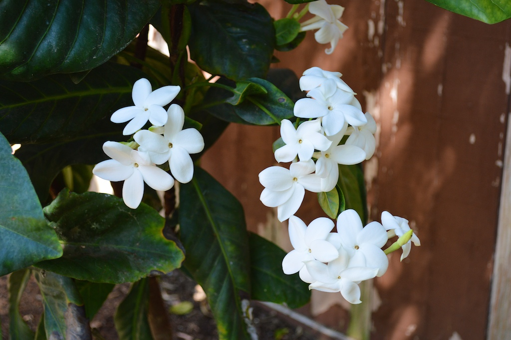 Atractocarpus bracteatus Flowers