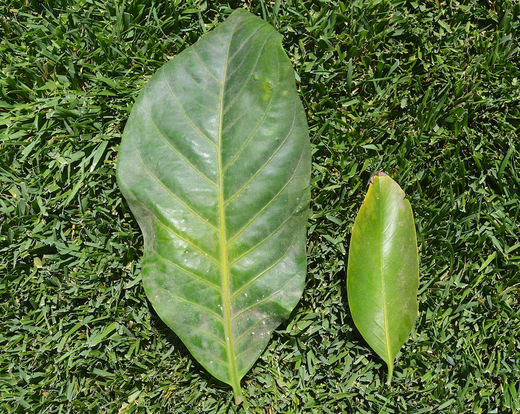 Atractocarpus rotundifolius and Atractocarpus bracteatus Leaf Comparison