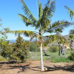 Transplanting a Dypsis leptocheilos (Teddy Bear Palm)