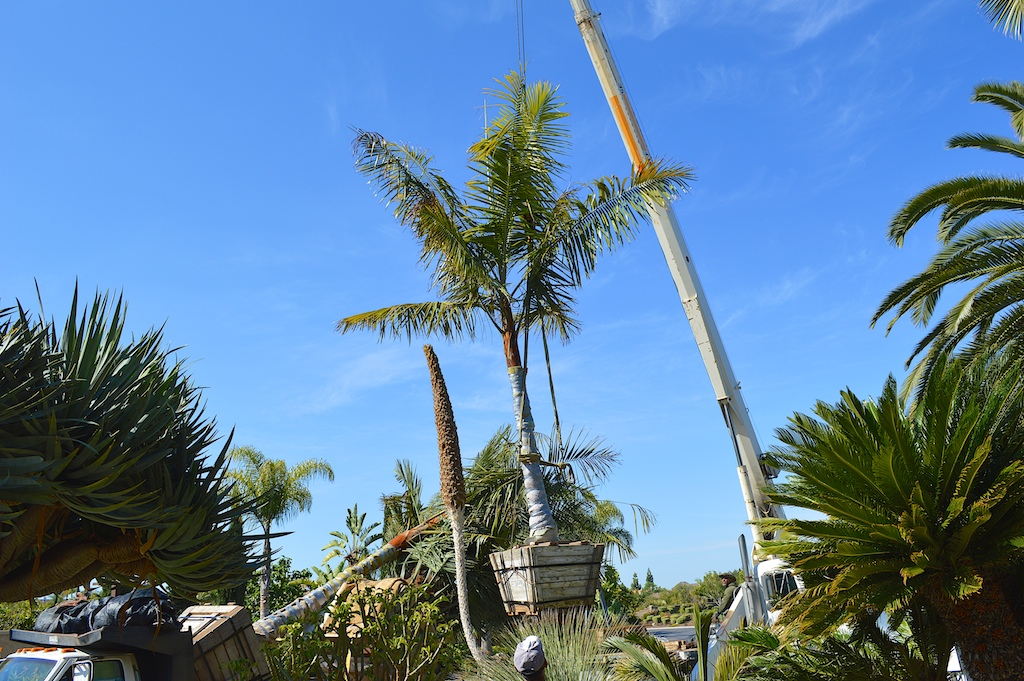 Dypsis leptocheilos Attached to Crane
