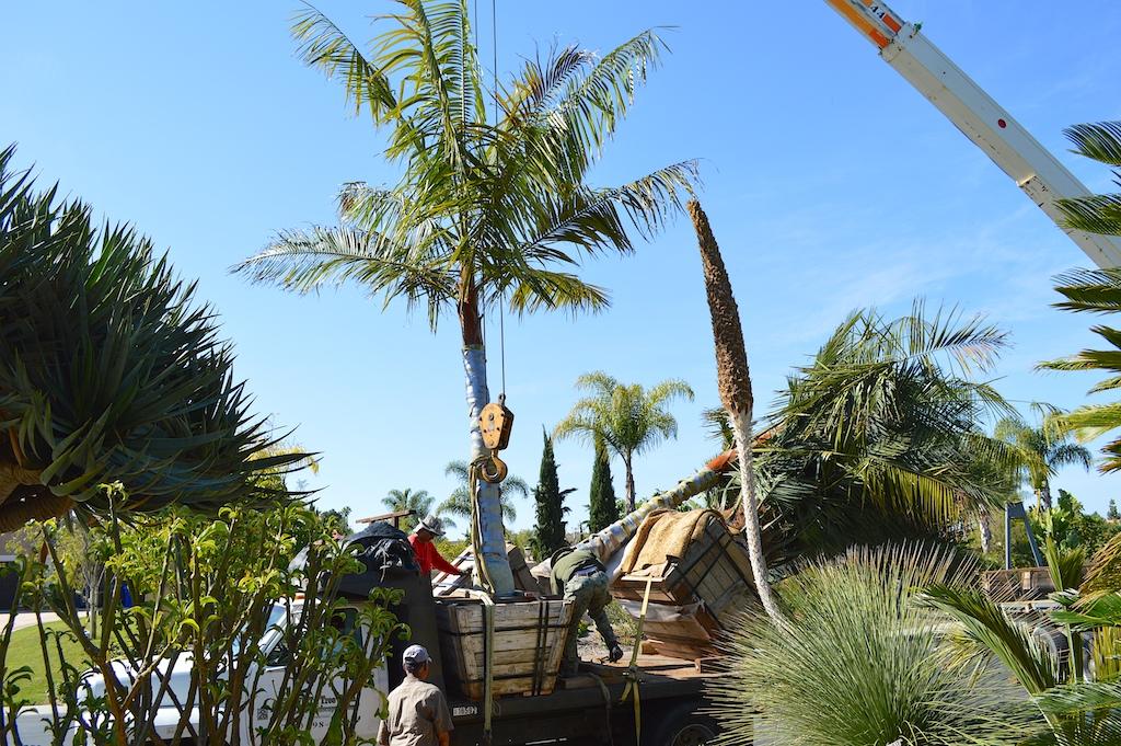 Dypsis leptocheilos Lifting Off Crane