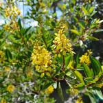 Galphimia gracilis (Spray-of-Gold) in my Southern California garden