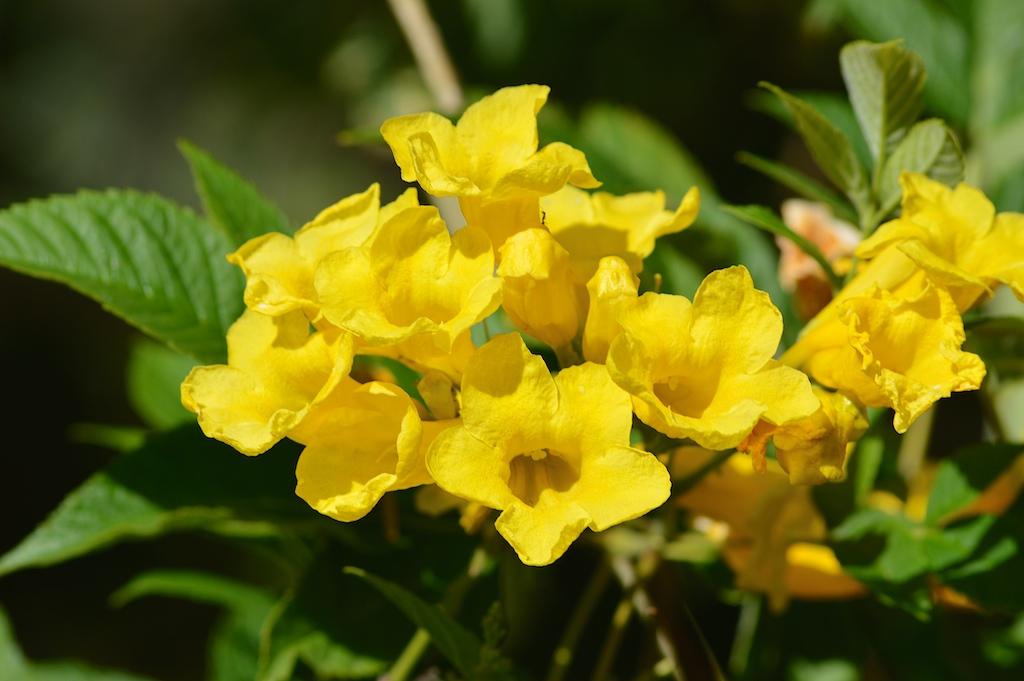 Tecoma stans Flowers