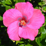 Exotic hibiscus flowers from my Southern California garden