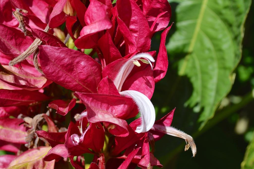 Megaskepasma erythrochlamys Flower Closeup