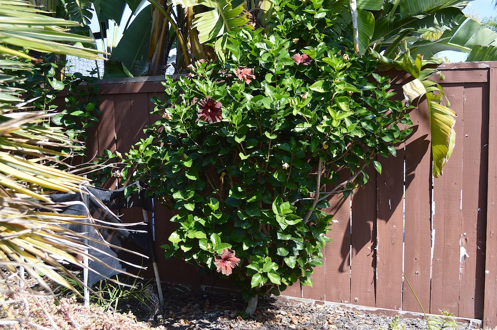 "Hibiscus ""Black Cherry"" Bush"