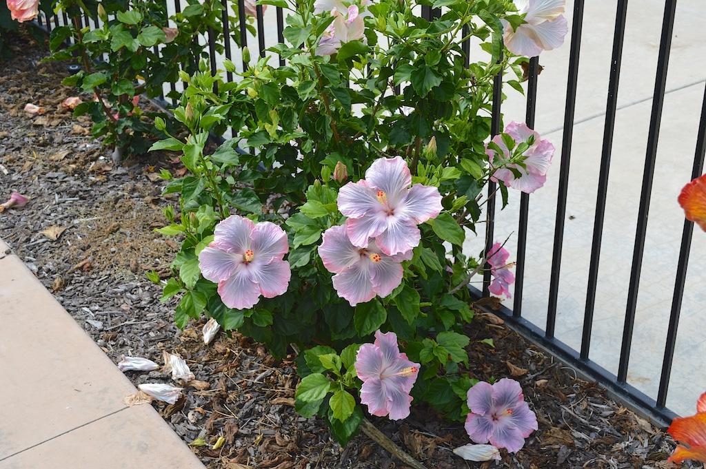 "Hibiscus ""Magic Crystal"" Bush"