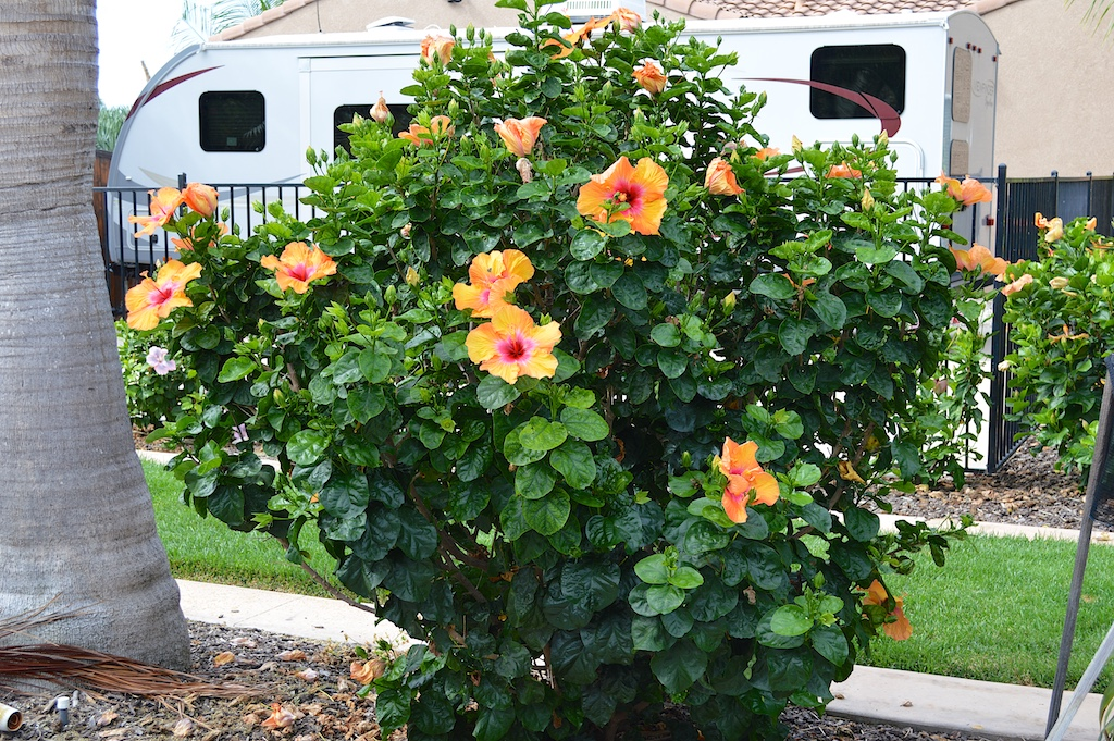 it s the best time of the year for exotic hibiscus in southern california. Black Bedroom Furniture Sets. Home Design Ideas