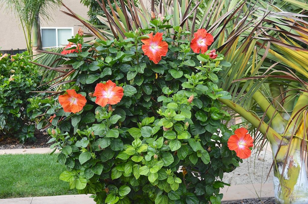 "Hibiscus ""Saffron"" Bush"